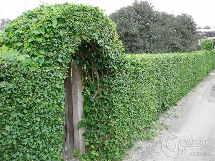 Изгородь зеленая