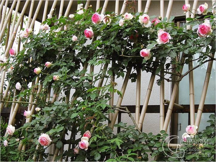 Для розовых кустов