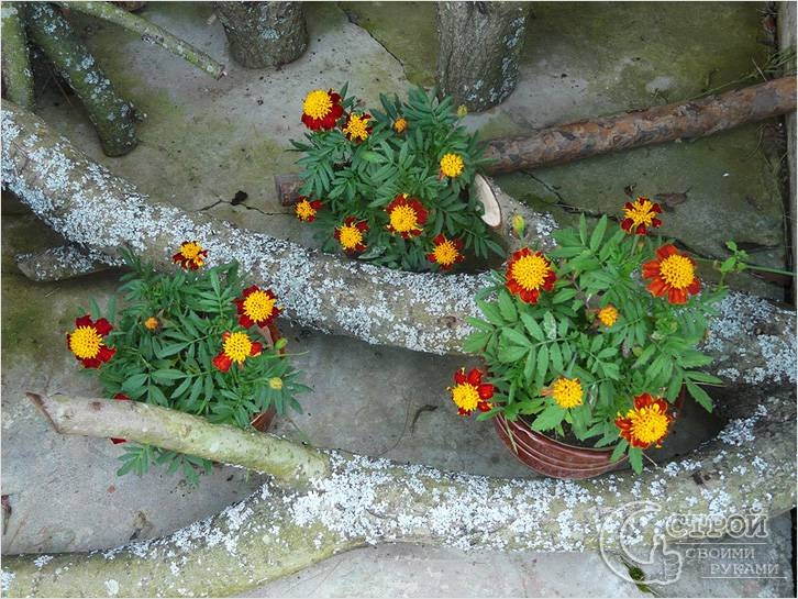Можно сочетать с цветами в горшках